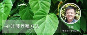 心叶藤养殖方法