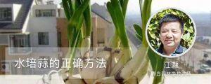 水培蒜的正确方法