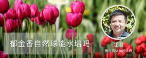 郁金香自然球能水培吗(方法及流程)
