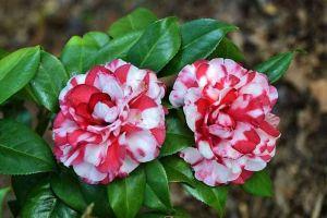 """年后就种""""2种""""花,花苞拳头大,春天开花开满枝"""