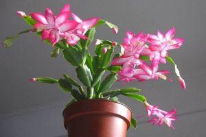 """冬天在""""蟹爪兰""""盆里埋上它,侧边嫩芽冒,花骨朵挂枝头!"""