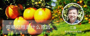 柑橘烂根是什么原因