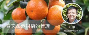 春天盆栽柑橘的管理
