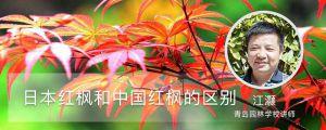 日本红枫和中国红枫的区别