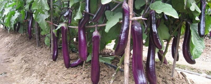 阳台茄子的种植方法