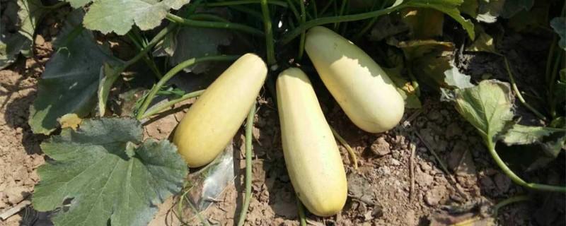 阳台西葫芦的种植方法