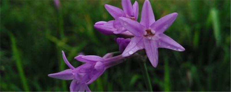 紫娇花如何养