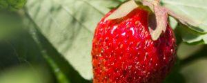 阳台如何养草莓,需要注意什么