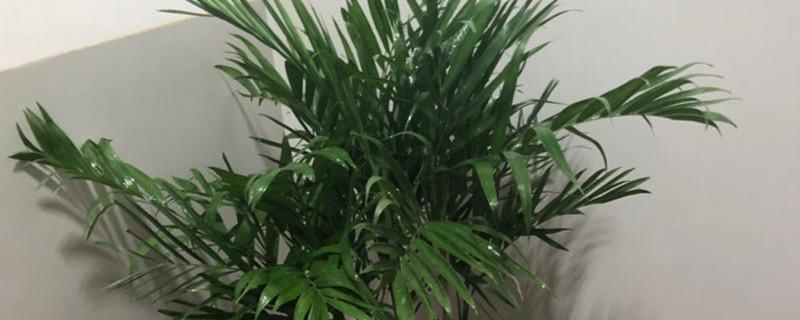 散尾葵和夏威夷椰子的区别
