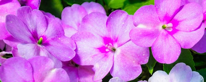 长春花与凤仙花的区别