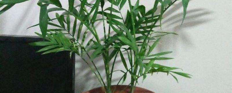 凤尾竹与棕竹的区别
