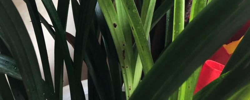 大花惠兰和墨兰的区别
