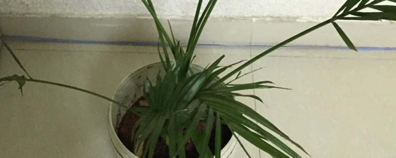 散尾葵和棕竹的区别