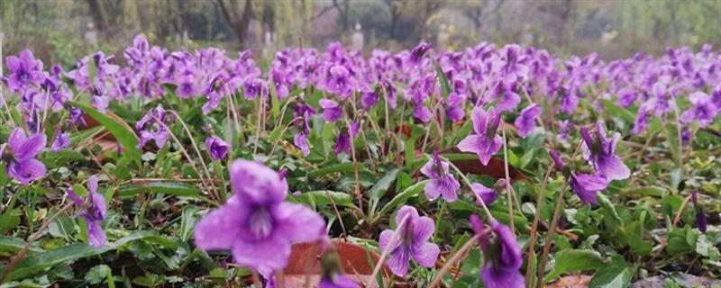 紫花地丁黄叶的原因和处理办法