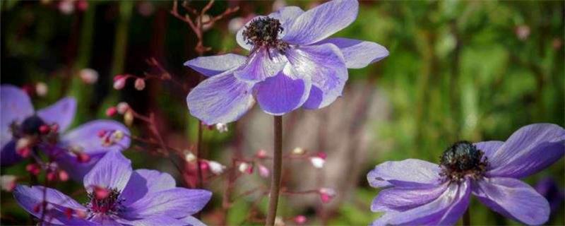 银莲花黄叶的原因和处理办法