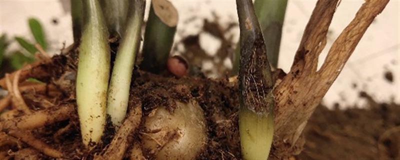 积水烂根怎么处理,土壤积水多久烂根