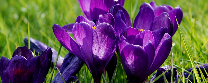 藏红花怎么辨别真假,几种辨别真假的方法