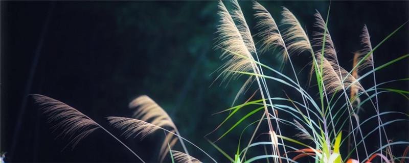 自制芦苇干花,芦苇插花瓶图片