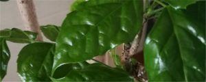 幸福树叶斑病怎么治疗(附发病图片)