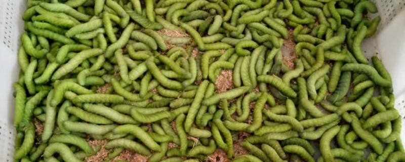 豆虫最后变成了什么,入土几天成蛹