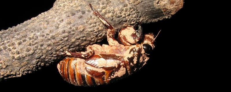 金蝉是什么动物,对植物有危害吗
