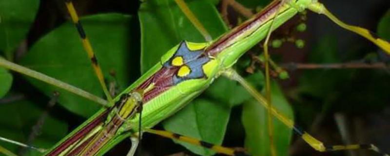 竹节虫有毒吗,是益虫还是害虫
