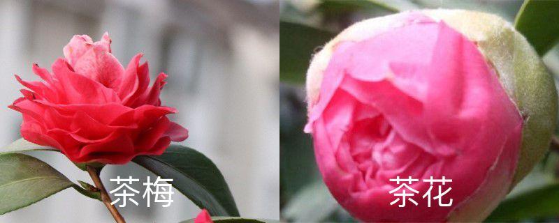 茶梅和茶花的区别,哪个更容易养
