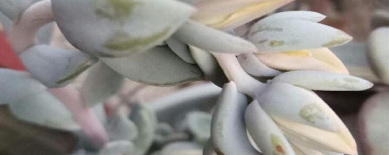 特玉莲的养殖方法和注意事项