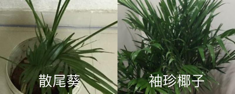 散尾葵和袖珍椰子的区别,哪个好养
