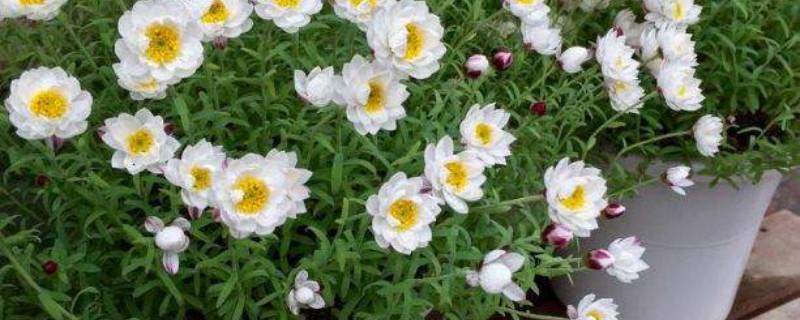 白晶菊和雏菊的区别,分别代表什么意思