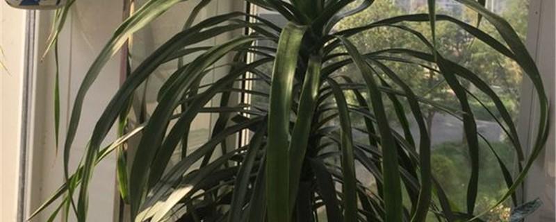 荷兰铁和龙血树的区别,哪个更好养