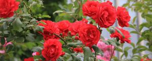 秦皇岛适合养什么花,市花和市树是什么