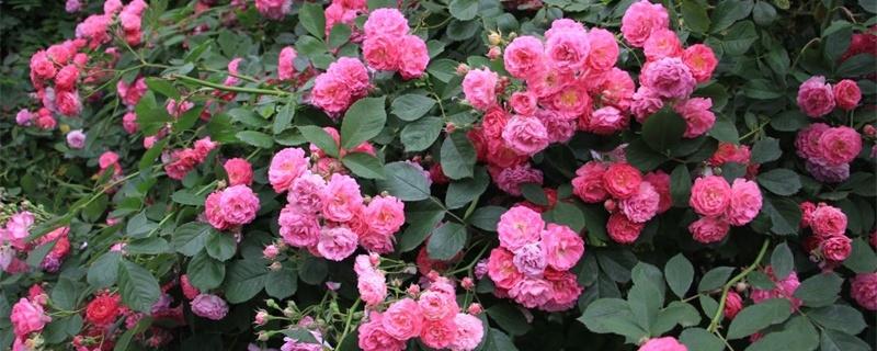 大连适合养什么花,市花和市树是什么