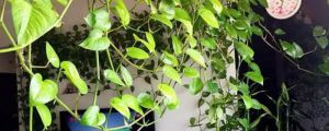 为什么绿萝突然长黄叶子?