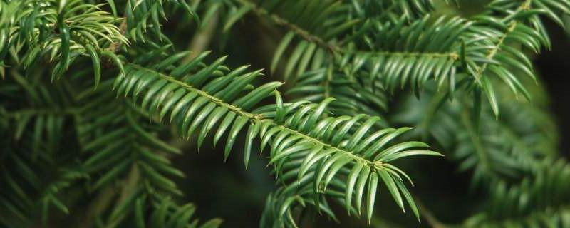 红豆杉的药用功效和使用方法,使用有什么禁忌