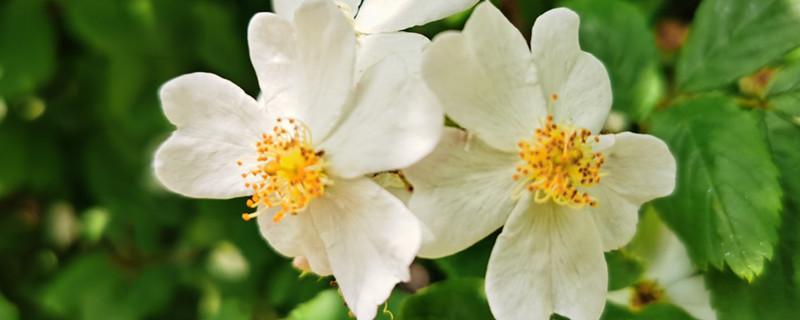 野蔷薇的药用功效,基本介绍