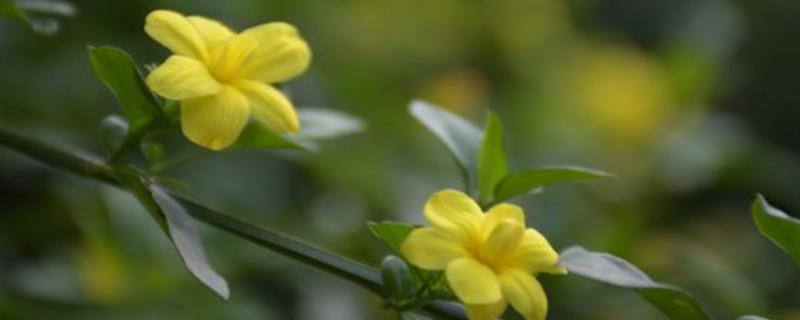 立春的代表花是什么花