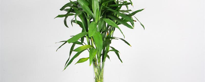 富贵竹怎么水养生根快