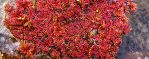 满江红是什么植物