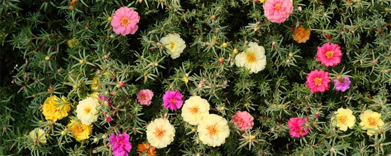 名贵太阳花品种