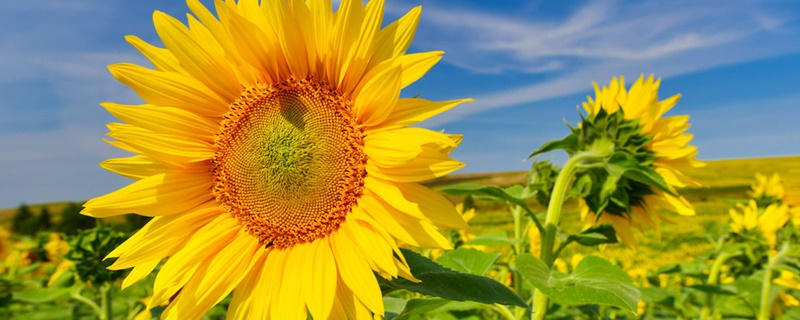 向日葵种植过程记录