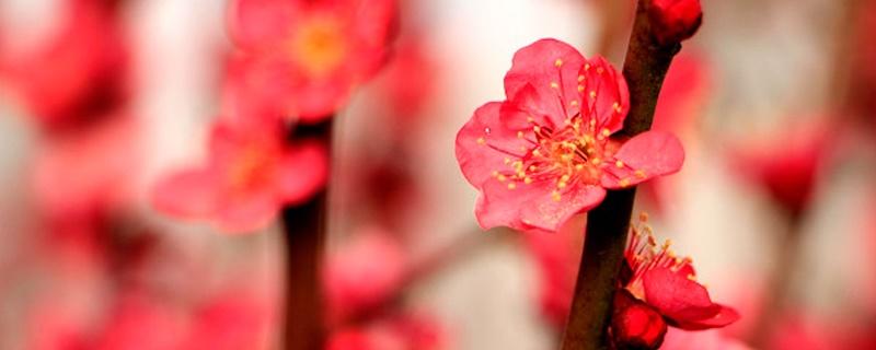 十二个月的花神和花语