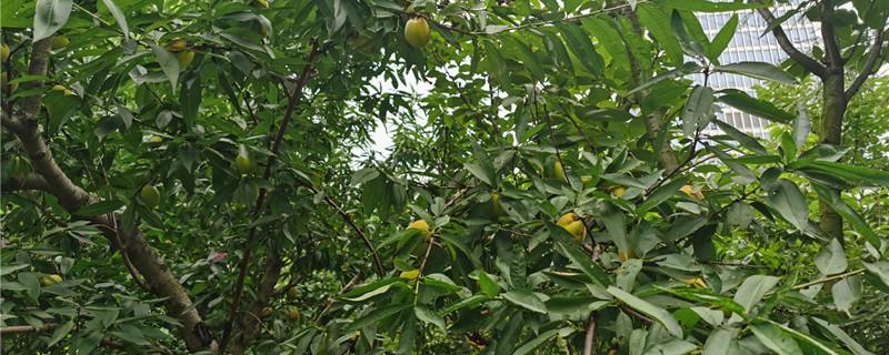 桃树常见病害图片防治方法