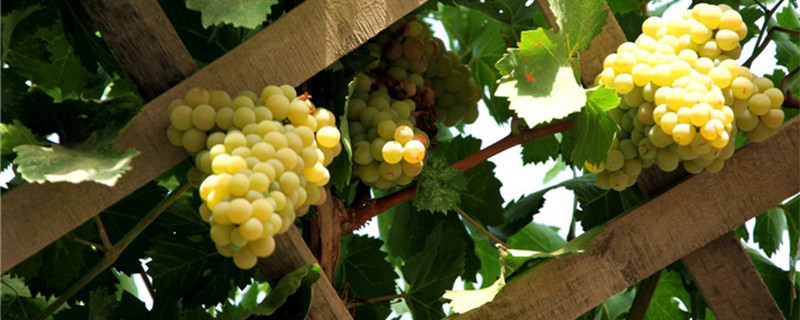 比阳光玫瑰还好的葡萄品种