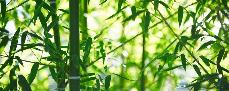 竹子为什么不能种屋后