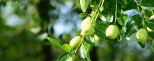 为什么说枣树是凶树