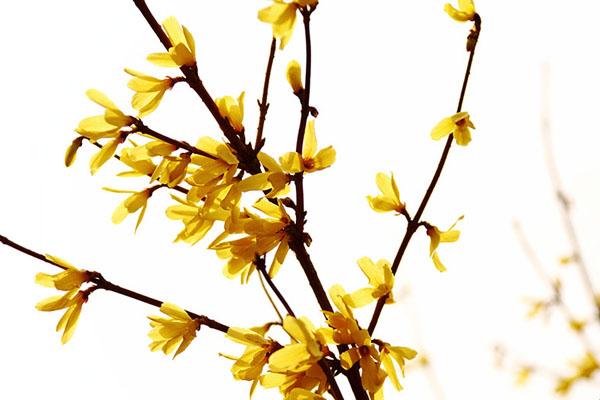 迎春花精美图片
