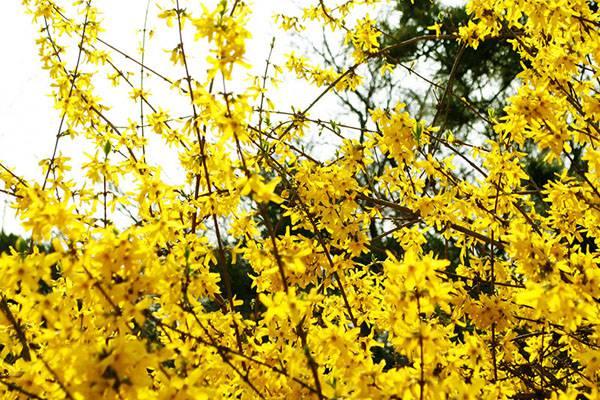 迎春花迎春绽放