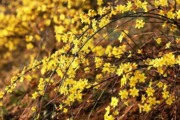 春天的使者——迎春花