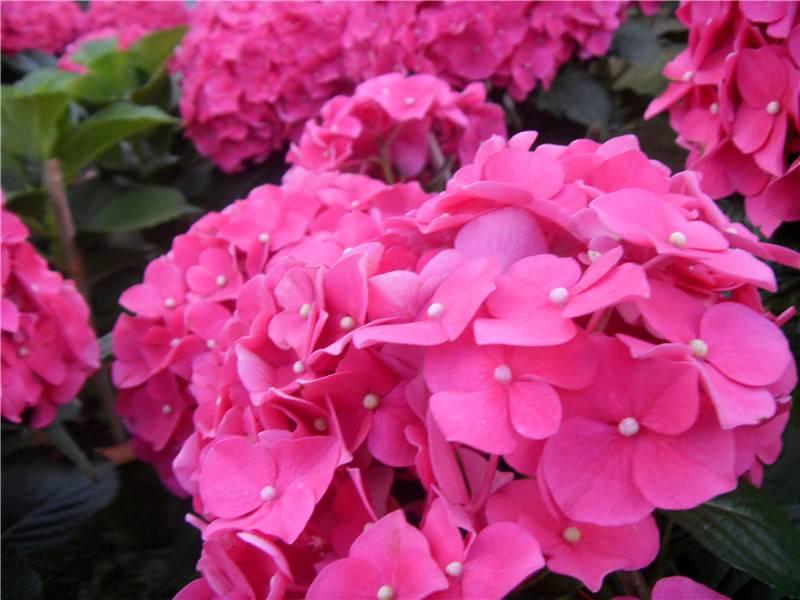 美丽的八仙花